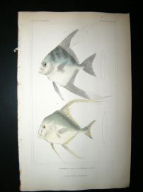 Cuvier C1835 Antique Hand Col Print. Blepharis & gallichtys Fish #42